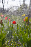 Tulpen in de de lentetuin Stock Foto's