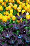 Tulpen in de lente royalty-vrije stock foto
