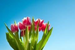 Tulpen in de lente met blauwe hemel Royalty-vrije Stock Fotografie