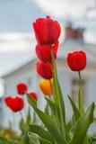 Tulpen, de lentestemming Stock Afbeeldingen