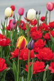 Tulpen in de lentetuin royalty-vrije stock fotografie