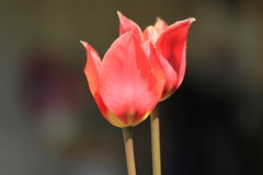 Tulpen de memoria Fotos de archivo