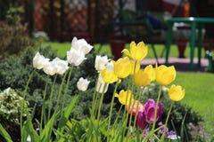 Tulpen in de plattelandstuin Stock Afbeelding