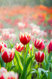 Tulpen in de regen Stock Afbeelding