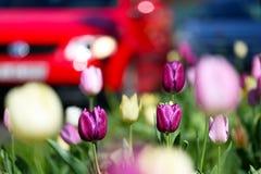 Tulpen in de stad Stock Afbeelding