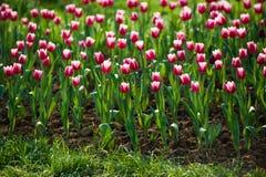 Tulpen in de tuin Royalty-vrije Stock Foto's