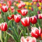 tulpen in de tuin Stock Fotografie