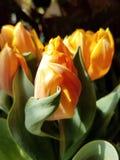 Tulpen in de zon stock foto