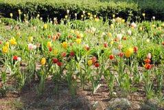 Tulpen in de zon Stock Afbeelding