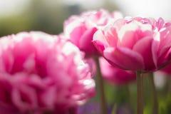 Tulpen in de zon Royalty-vrije Stock Afbeelding