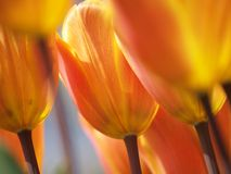 Tulpen in de zon Royalty-vrije Stock Afbeeldingen
