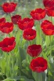 Tulpen in der Blüte im Frühjahr Stockbilder