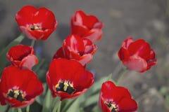Tulpen in der Blüte im Frühjahr Lizenzfreies Stockfoto