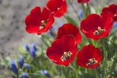 Tulpen in der Blüte im Frühjahr Stockfoto