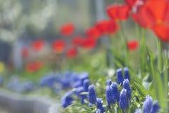 Tulpen in der Blüte im Frühjahr Stockfotos