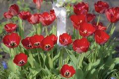 Tulpen in der Blüte im Frühjahr Lizenzfreie Stockfotos