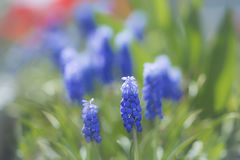 Tulpen in der Blüte im Frühjahr Lizenzfreie Stockbilder