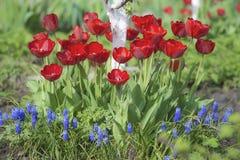 Tulpen in der Blüte im Frühjahr Lizenzfreie Stockfotografie