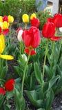 Tulpen in der Farbe im Frühjahr Stockfotos