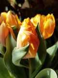 Tulpen in der Sonne stockfoto