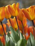 Tulpen in der Sonne Stockbild