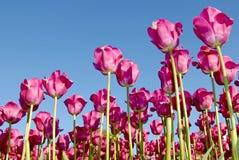 Tulpen des Frühlinges Stockfotografie