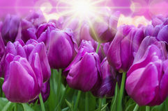 Tulpen des königlichen Purpurs Stockbild