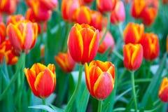 Tulpen des orange Gelbs stockfotografie
