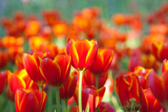 Tulpen des orange Gelbs Lizenzfreie Stockfotos