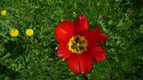 Tulpen die de wind hoogste mening slingeren stock footage