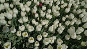 Tulpen die de wind hoogste mening slingeren stock video
