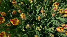 Tulpen die de wind hoogste mening slingeren stock videobeelden