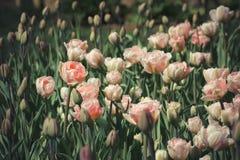 Tulpen, die in der Frühjahrsonne blühen Stockfoto