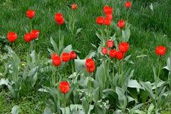 Tulpen die in het groene gras groeien Stock Afbeeldingen
