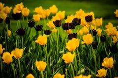 Tulpen, die im Frühjahr Brise beeinflussen Stockfotografie