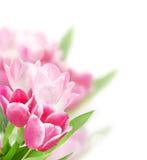 Tulpen die op wit worden geïsoleerde Stock Afbeelding