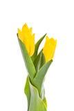 Tulpen die op witte achtergrond worden geïsoleerdg kleuren Stock Afbeelding