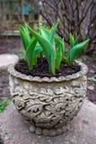 Tulpen die vooruit van de grond in oude tuinpot ontspruiten in de vroege lente stock afbeelding
