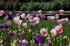 Tulpen in Duke Garden Royalty-vrije Stock Fotografie