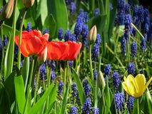 Tulpen een druivenhyacint royalty-vrije stock foto's