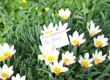 Tulpen ` eerste ` Royalty-vrije Stock Foto's