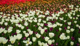 Tulpen in einem Labyrinth der klaren Farbe Stockbilder
