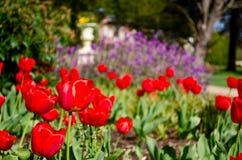 Tulpen in einem Park Stockfotografie