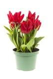 Tulpen in einem Topf Lizenzfreies Stockfoto