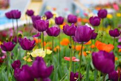 Tulpen en andere kleurrijke bloemen die in de Indische Tuin van Klusjesbagh in Hamilton Gardens bloeien royalty-vrije stock afbeeldingen
