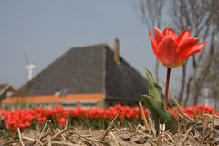 Tulpen en een boerderij Royalty-vrije Stock Fotografie