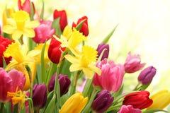 Tulpen en gele narcissen Royalty-vrije Stock Afbeelding