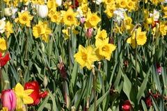 Tulpen en Gele narcissen royalty-vrije stock foto's
