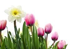 Tulpen en gele narcissen op witte achtergrond Royalty-vrije Stock Afbeeldingen