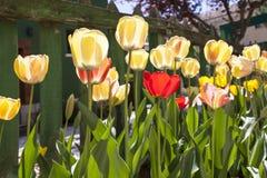 Tulpen en Groene Omheining Stock Foto